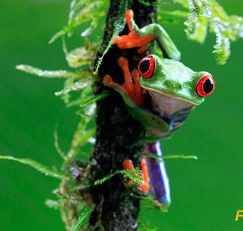 Wild red eyed tree frog clinging to mossy vine in rainforest of Costa Rica. (Getty ID: 144303660)